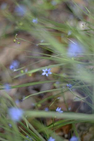 Blue-eyed grass by KKolb