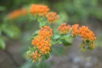 Butterfly Weed by KKolb