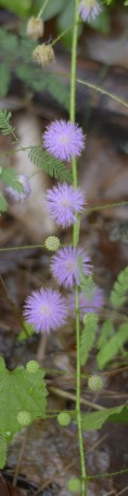 Mimosa Microphylla Stn Mtn by KKolb