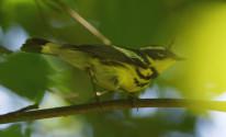 magnolia warbler slide show_DSC2640