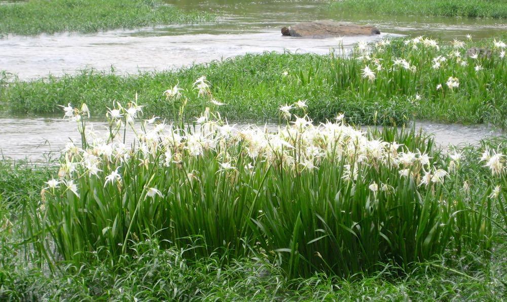 shoal lilies linda best MG_9286