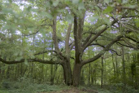 Big water oak at JHomestead_DSC1897