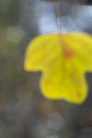 7-tulip-poplar-leaf-by-kathryn-kolb