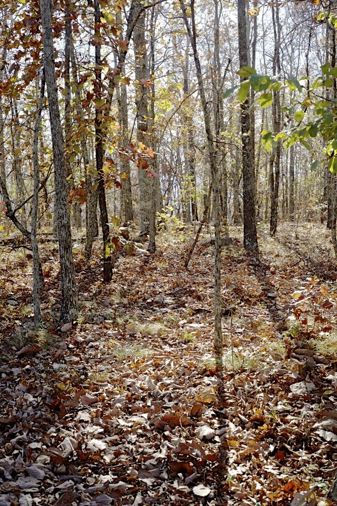 pine-mt-forest_dsc5025